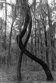 Deux arbres enlacés, Louisiane, USA